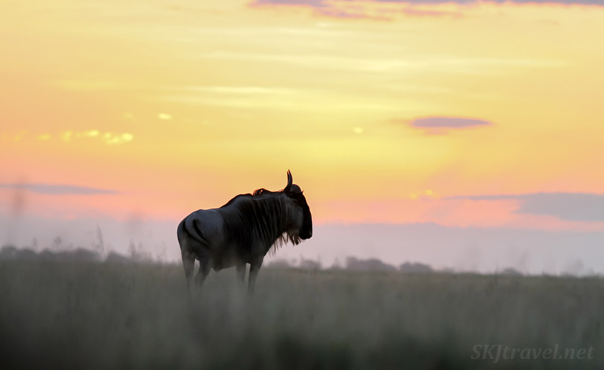 Lone wildebeest standing on the grass at sunset, Amboseli, Kenya.