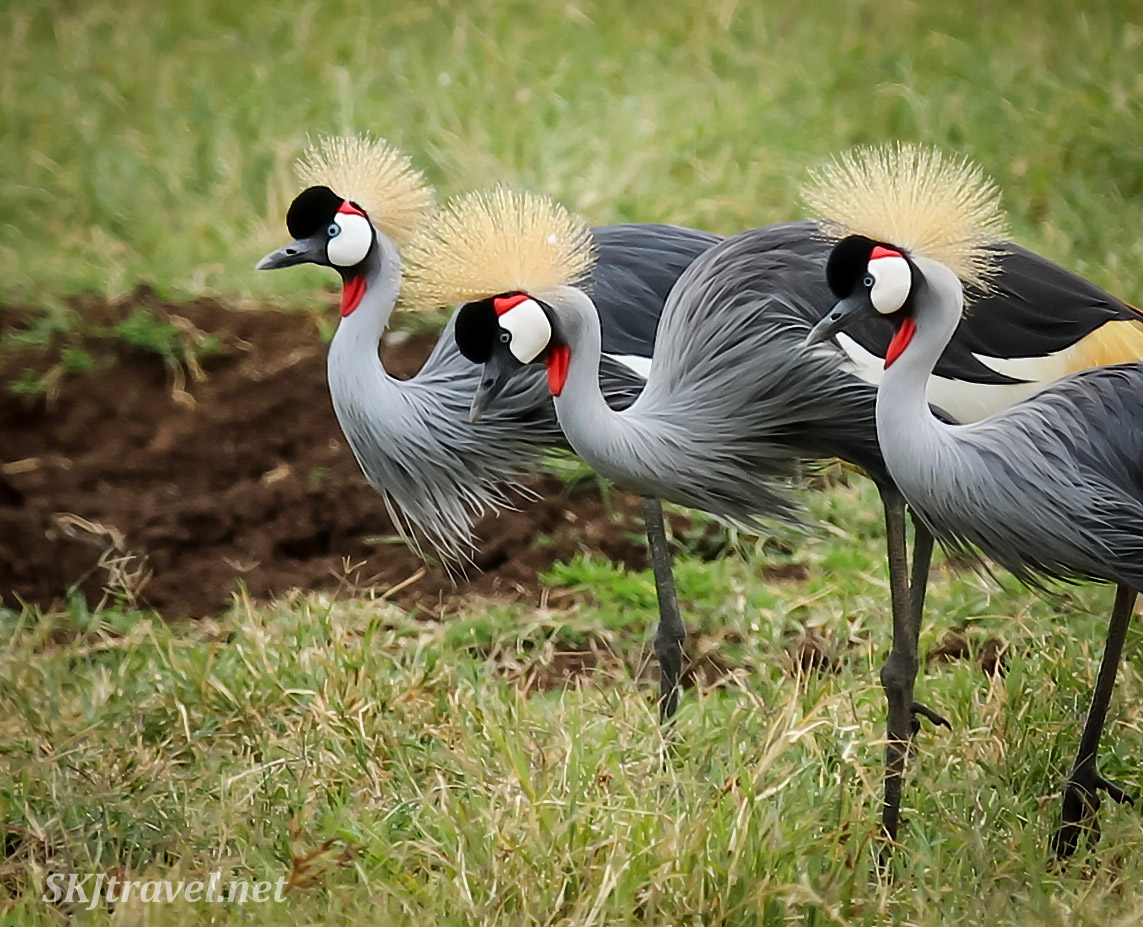 Trio of gray crowned cranes in Ngorongoro Crater, Tanzania.