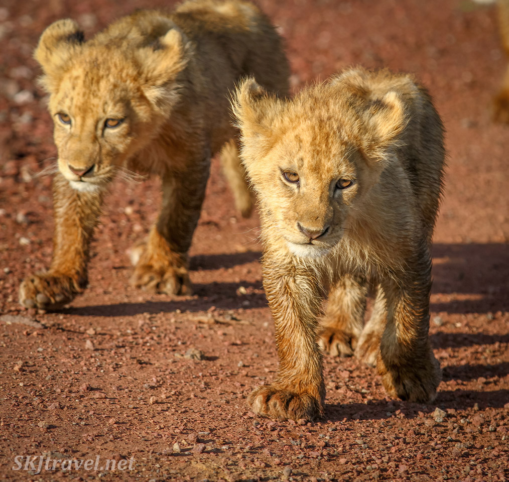 Lion cubs strutting down the road, Ngorongoro Crater, Tanzania.