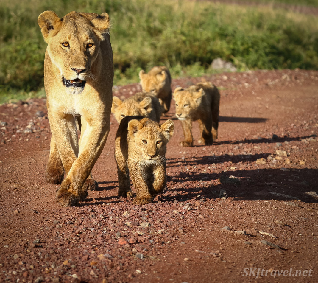 Lioness and lion cubs strutting down the road, Ngorongoro Crater, Tanzania.