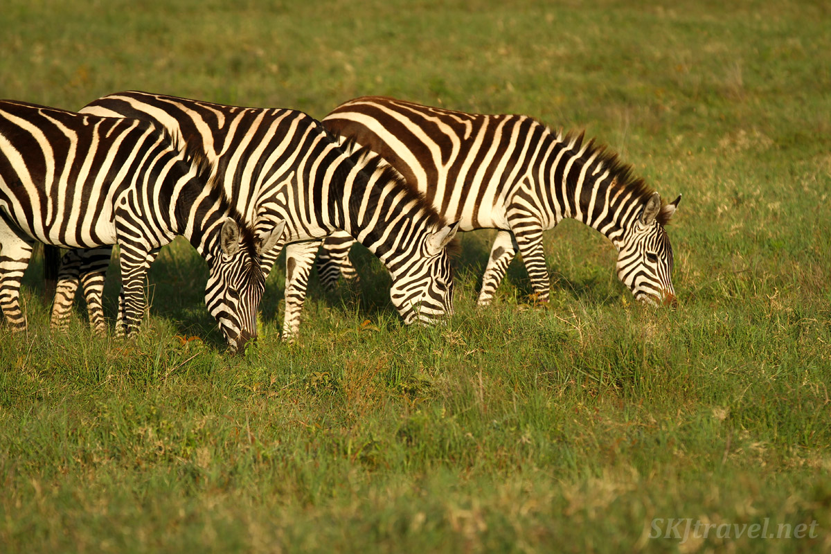 Three zebras eating in the morning light, Ngorongoro Crater, Tanzania.