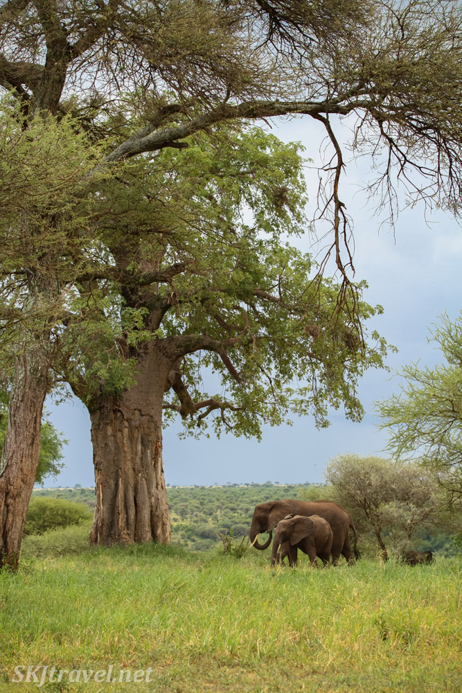 Elephants grazing near baobab trees, Tarangire National Park, Tanzania.