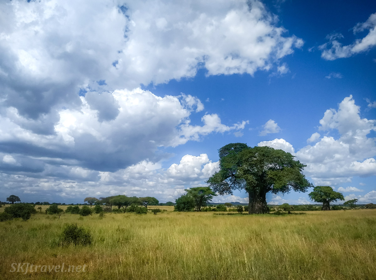 Baobab trees dotting the landscape of Tarangire National Park, Tanzania.