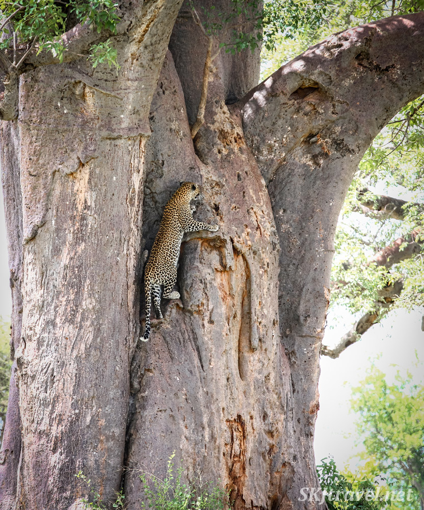 Leopard climbing up a baobab tree, Tarangire national park, Tanzania.