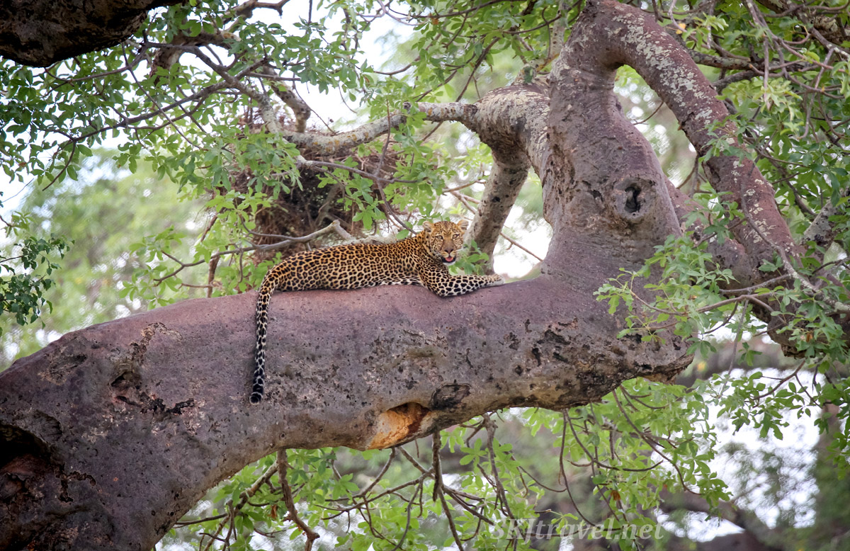 Leopard resting on the limb of a baobab tree, Tarangire national park, Tanzania.