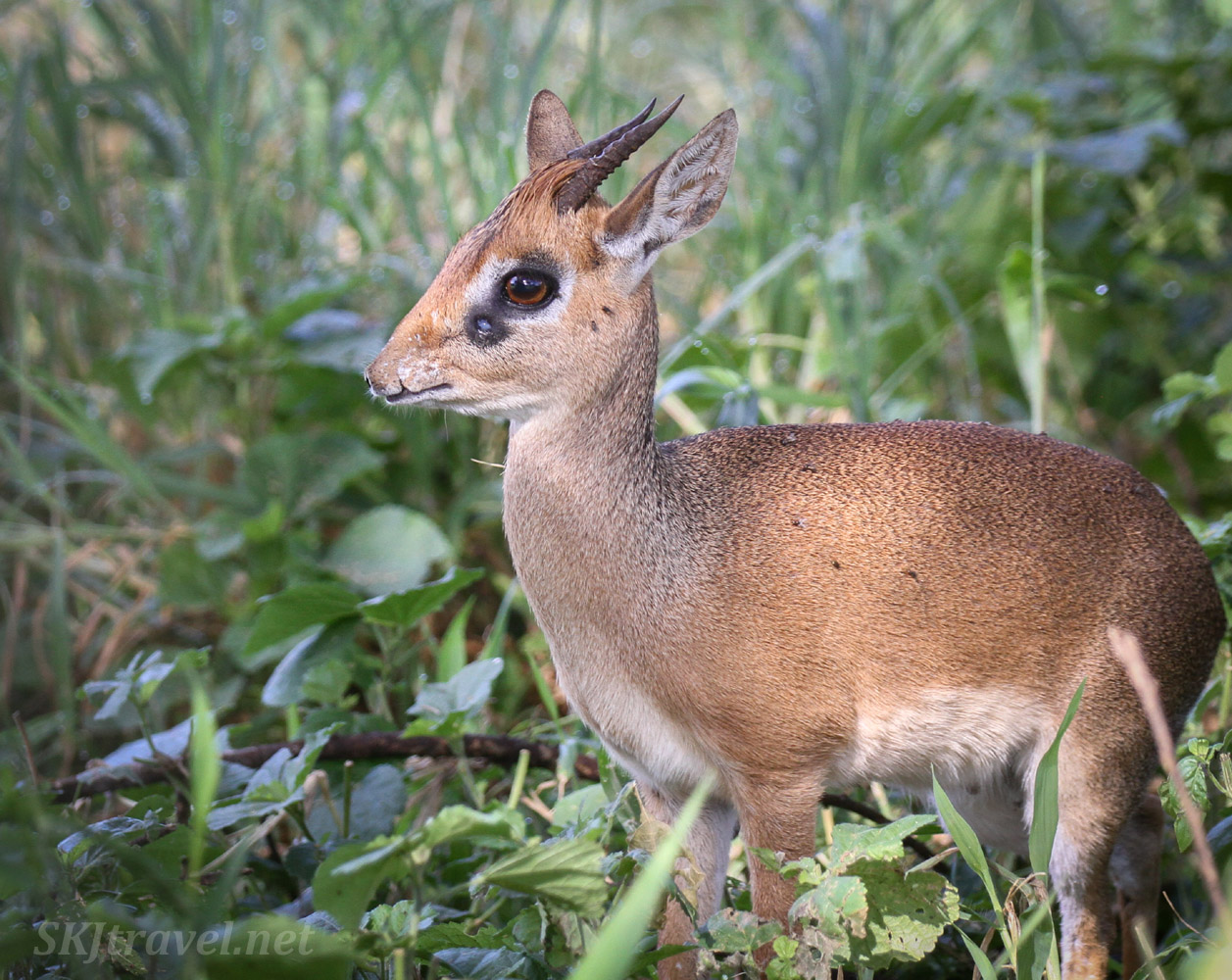 Dik-dik in the bushes, scent gland near its eyes, Tarangire national park, Tanzania.