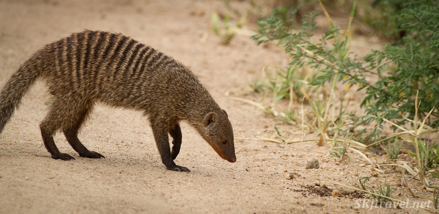 Banded mongoose in the road, Tarangire national park, Tanzania.