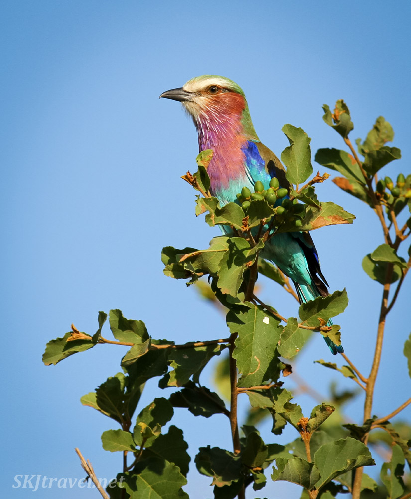 Lilac breasted roller sitting in a tree branch, Tarangire national park, Tanzania.