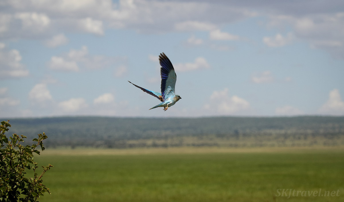 Eurasian roller in flight, Tarangire national park, Tanzania.
