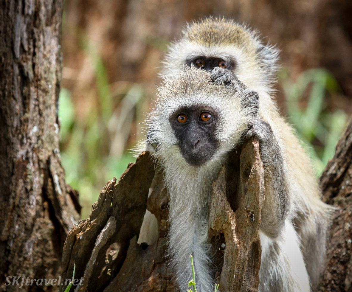 Vervet monkey enjoying some grooming by a troupe mate, Tarangire national park, Tanzania.
