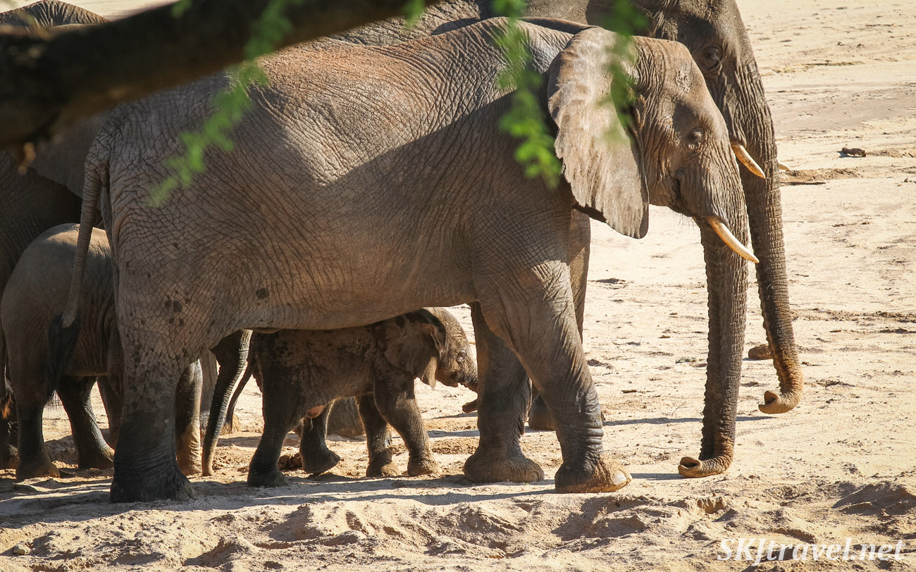 Newborn elephant walking with its family across the sand toward the river. Tarangire national park, Tanzania.