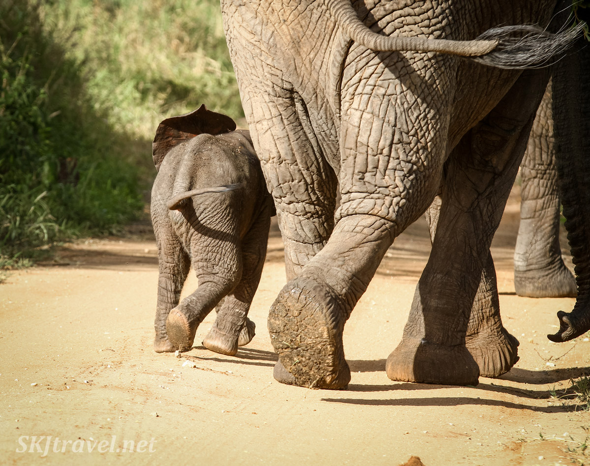 Mom and baby elephant walking down the road, their feet and tails in the same position. Tarangire national park, Tanzania.