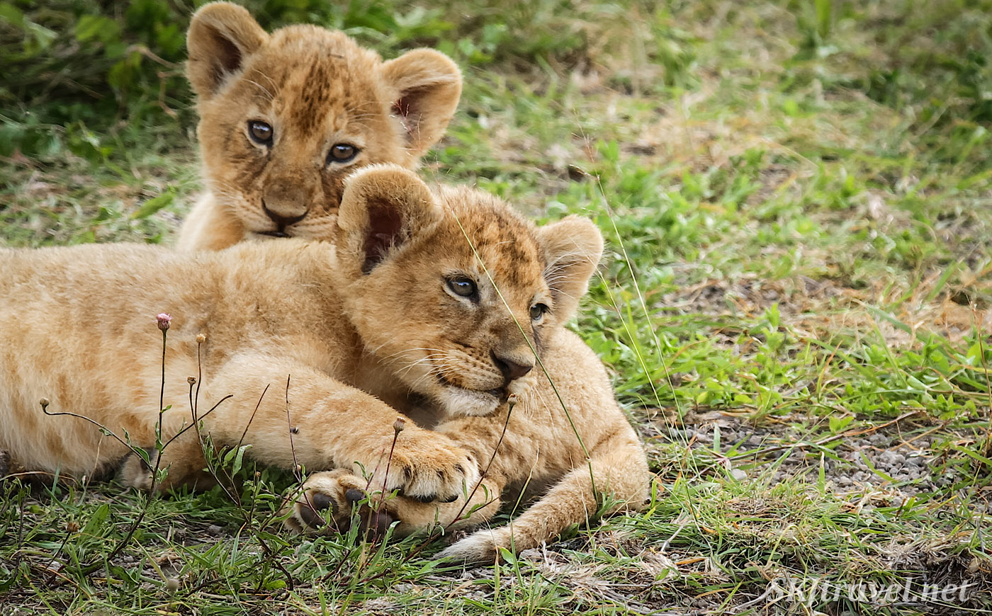 One tiny lion cub resting on another. Ndutu, Tanzania.