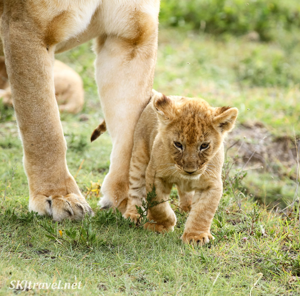 Tiny lion cub walking beside its mother. Ndutu, Tanzania.
