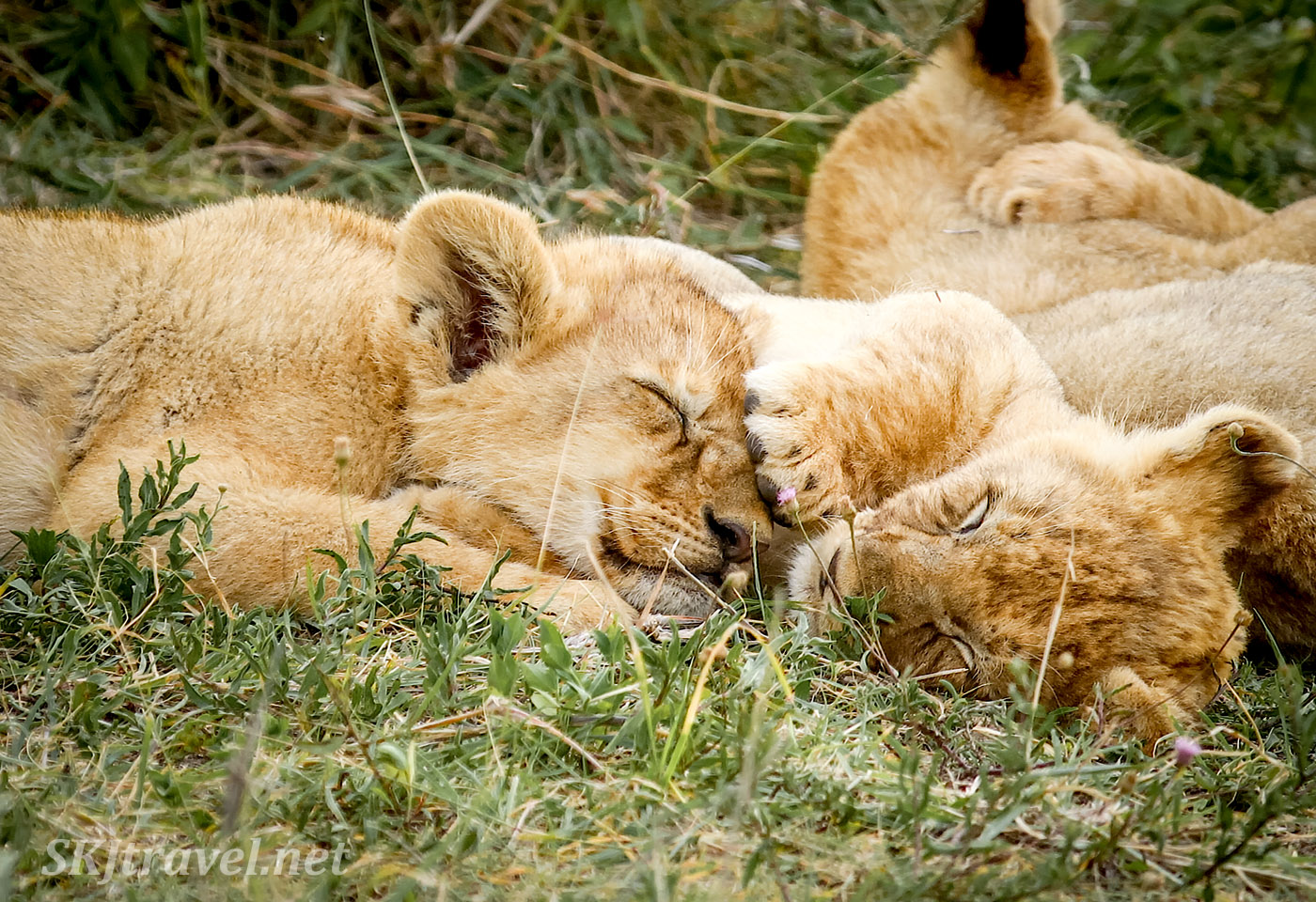 Lions cubs sleeping in the grass, one paw on the other's forehead. Ndutu, Tanzania.