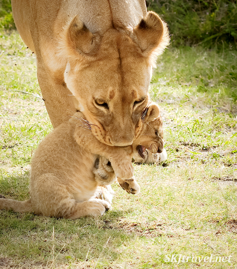 Mother lioness scooping her cub into her mouth with her paw. Ndutu, Tanzania.