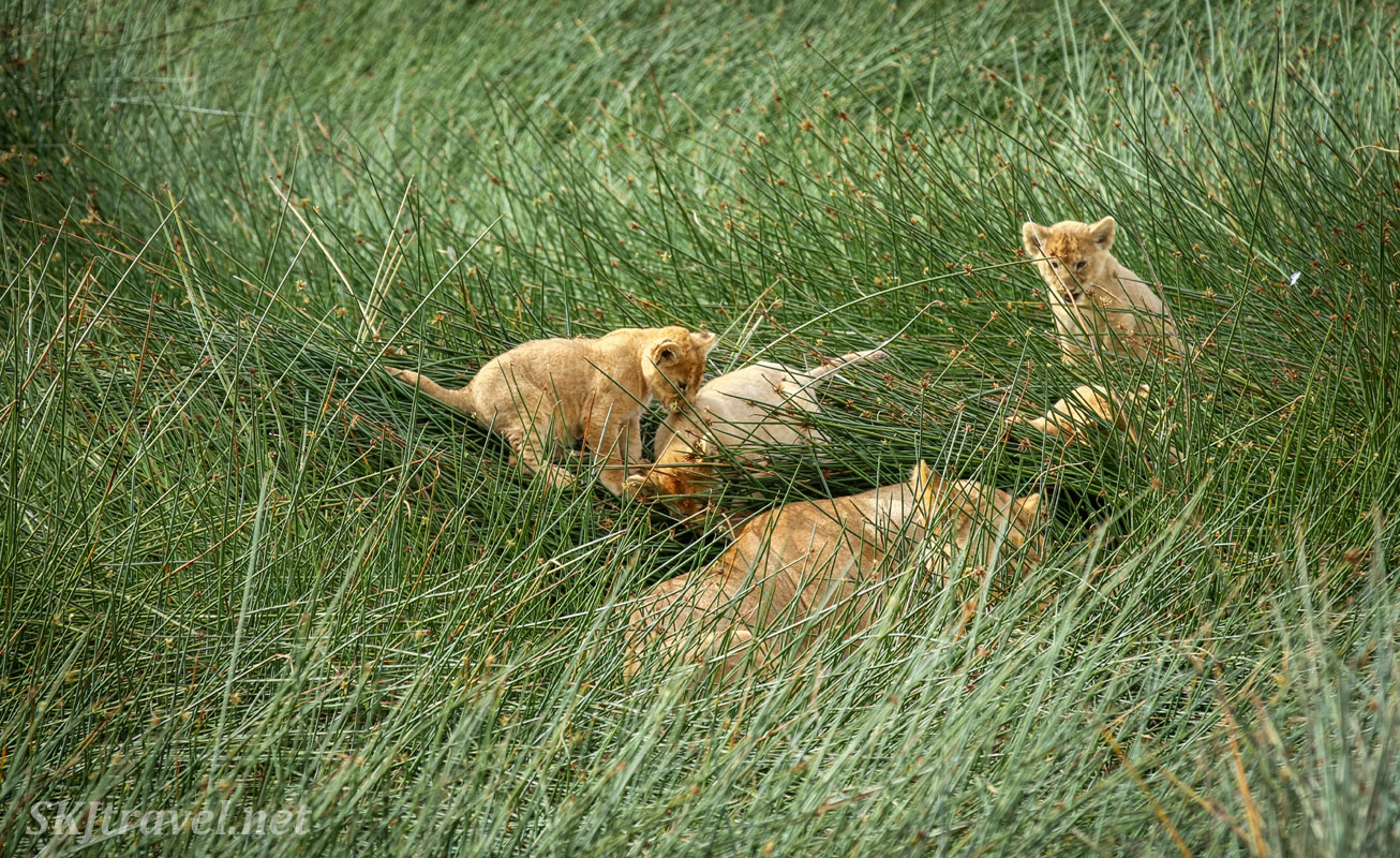 Mother lioness leading cubs back into tall reeds after a play session on the grass. Ndutu, Tanzania.