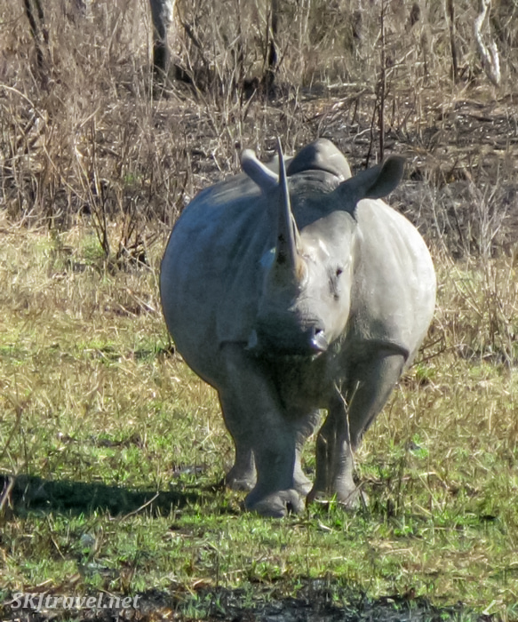 Face to face with a white rhino, Hluhluwe-iMfolozi NP (HiP) in South Africa