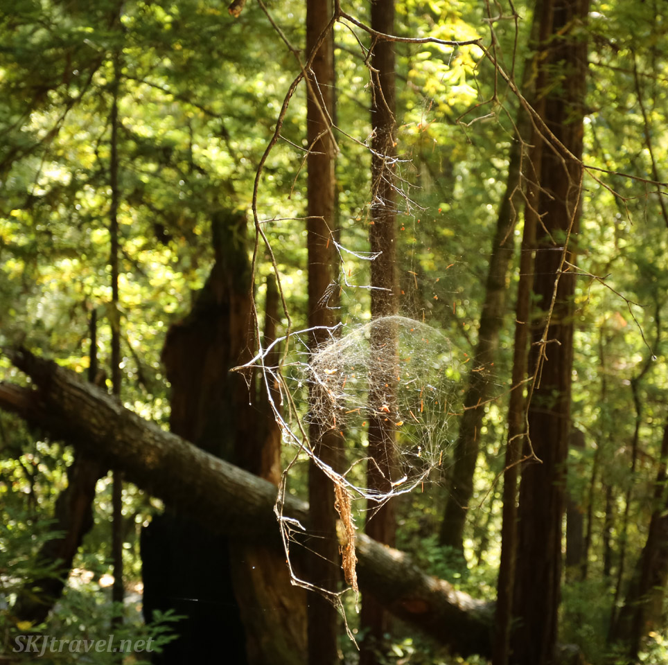 Spherical spiderweb in a redwood forest, Big Basin Redwoods State Park, California.
