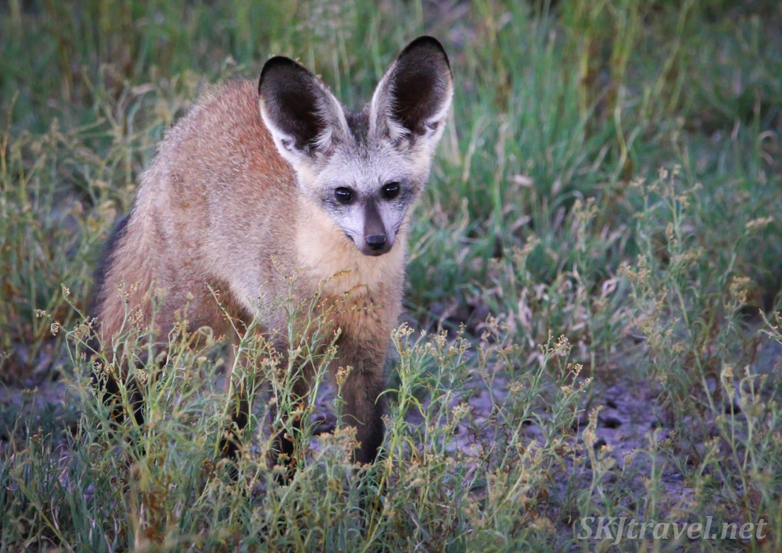 Bat eared fox scampering in the grasses of Central Kalahari Game Reserve, Botswana, green rainy season.