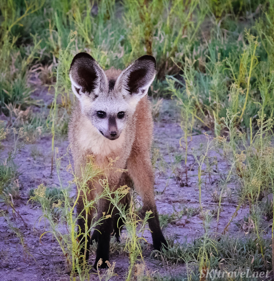Bat eared fox hunting near dusk, Central Kalahari Game Reserve, Botswana.