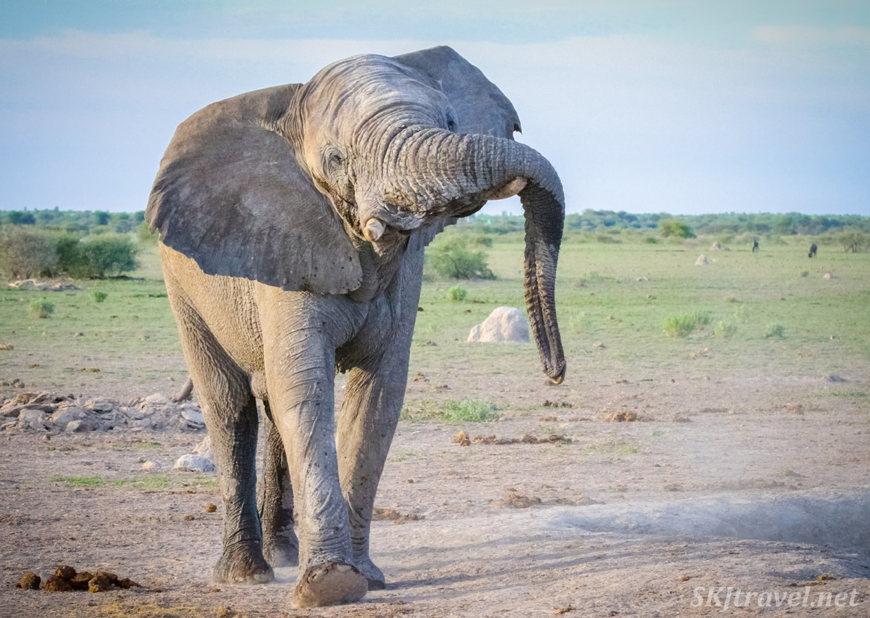 Elephant displaying his trunk at a waterhole, Nxai Pan, Botswana.