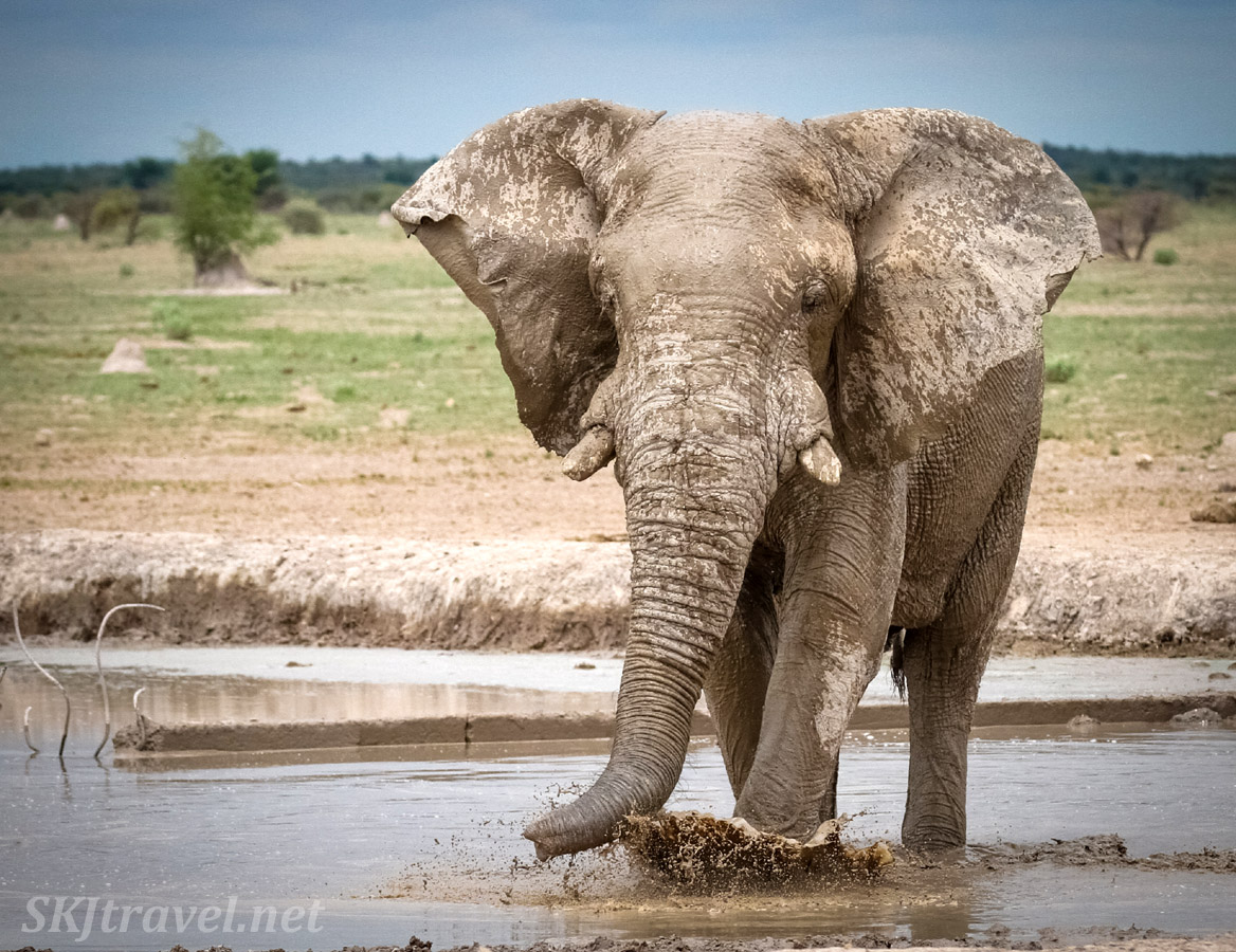 Elephant kicking up muddy water. Nxai Pan, Botswana.