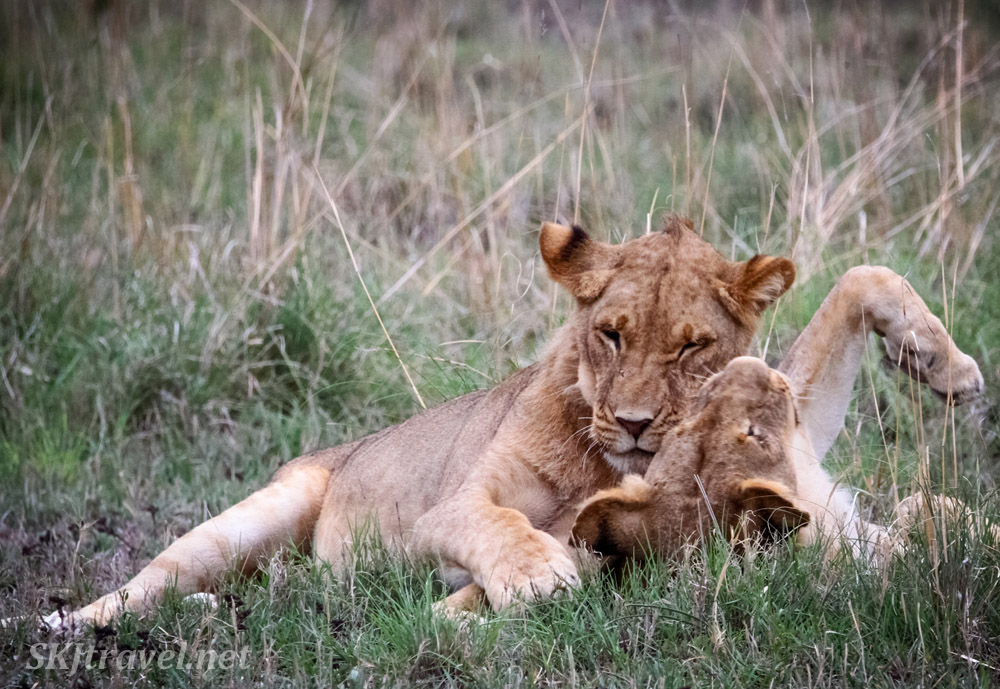 Young lion pals, Nxai Pan, Botswana.