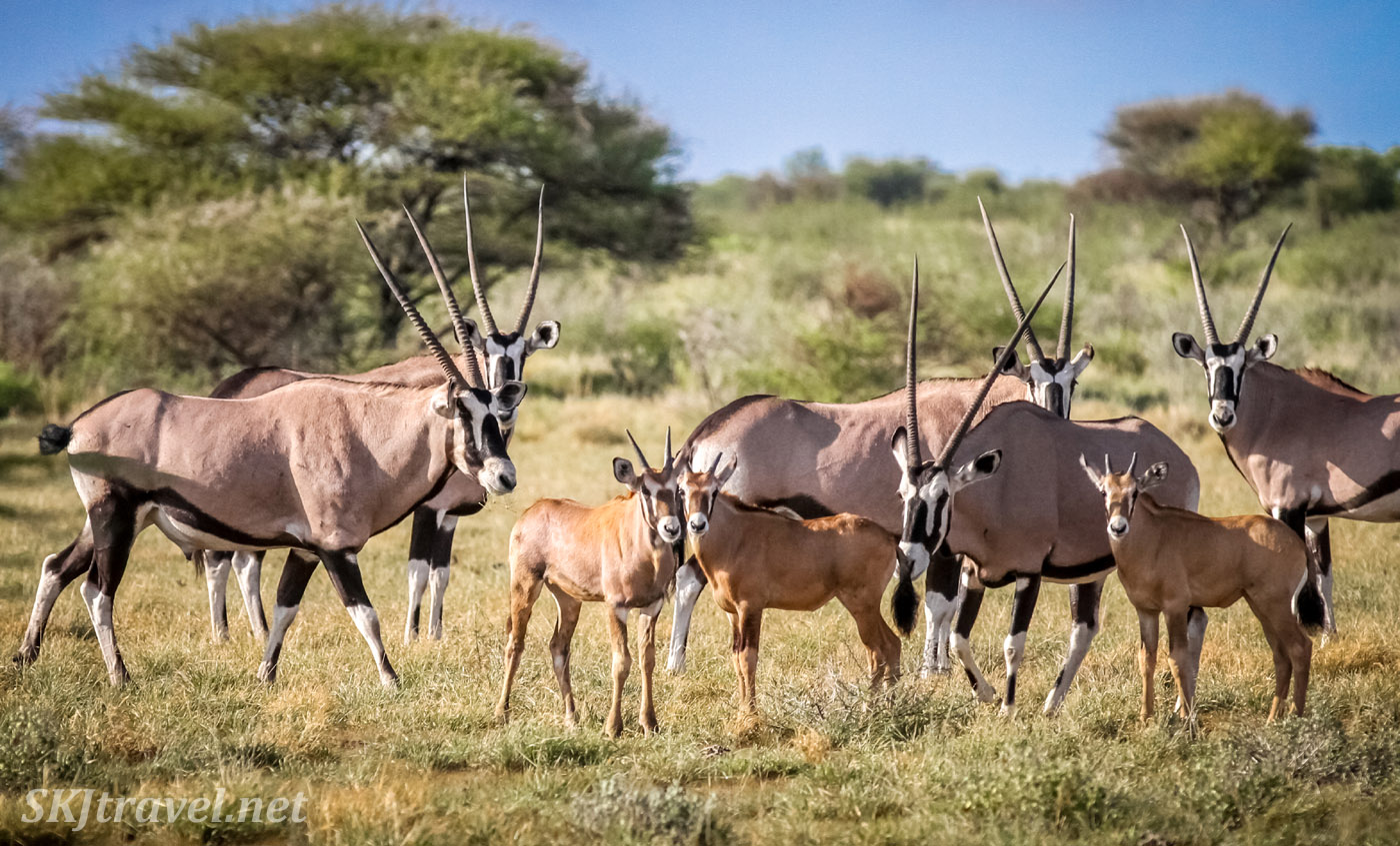 Three baby oryx (gemsbok) with their herd in the Central Kalahari Game Reserve, Botswana.