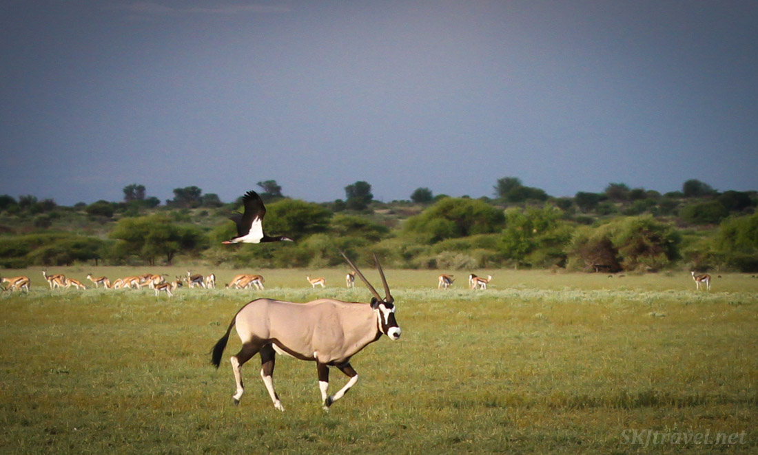 Abdim's stork racing an oryx (gemsbok) across the plains of the Central Kalahari Game Reserve, Botswana.