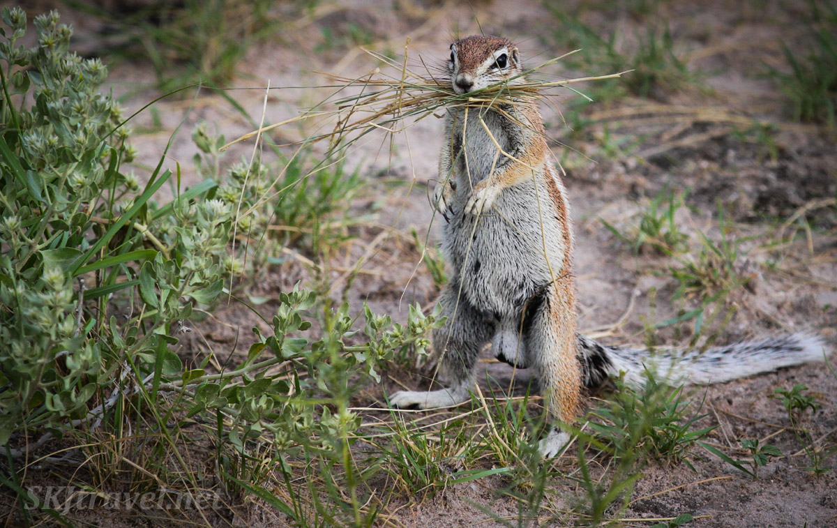 South African ground squirrel foraging in the Central Kalahari Game Reserve, Botswana.