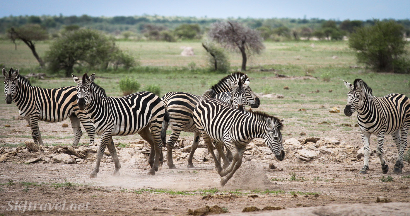 Bucking zebras at a waterhole. Nxai Pan, Botswana.