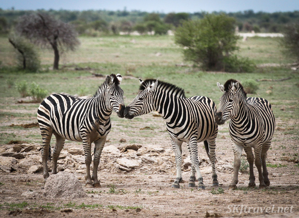 Zebra herd at a water hole, two males with their muzzles together. Nxai Pan, Botswana.
