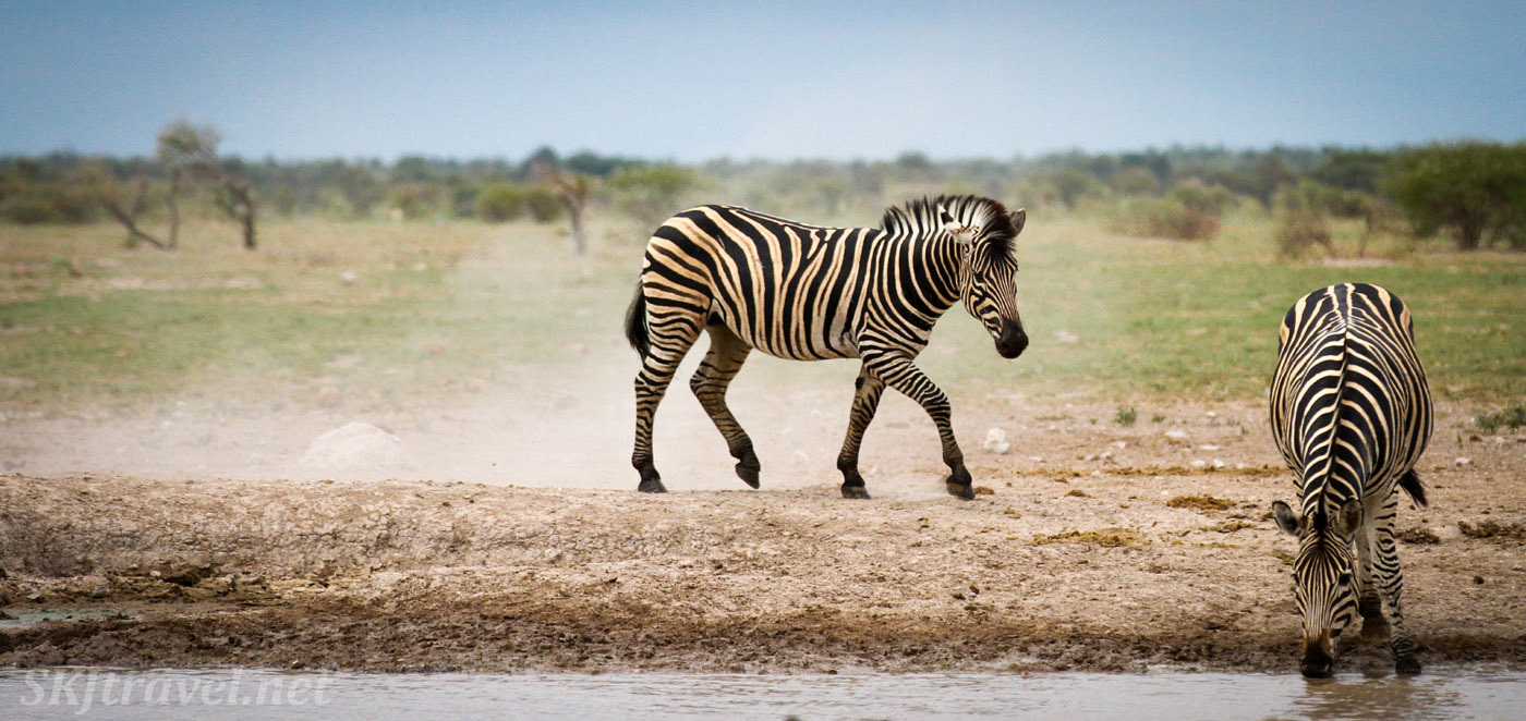 Zebra kicking up dust at a waterhole. Nxai Pan, Botswana.