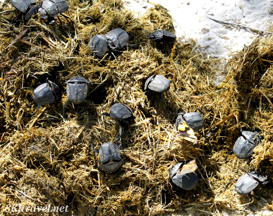 Mass of dung beetles on elephant dung. Nxai Pan, Botswana.