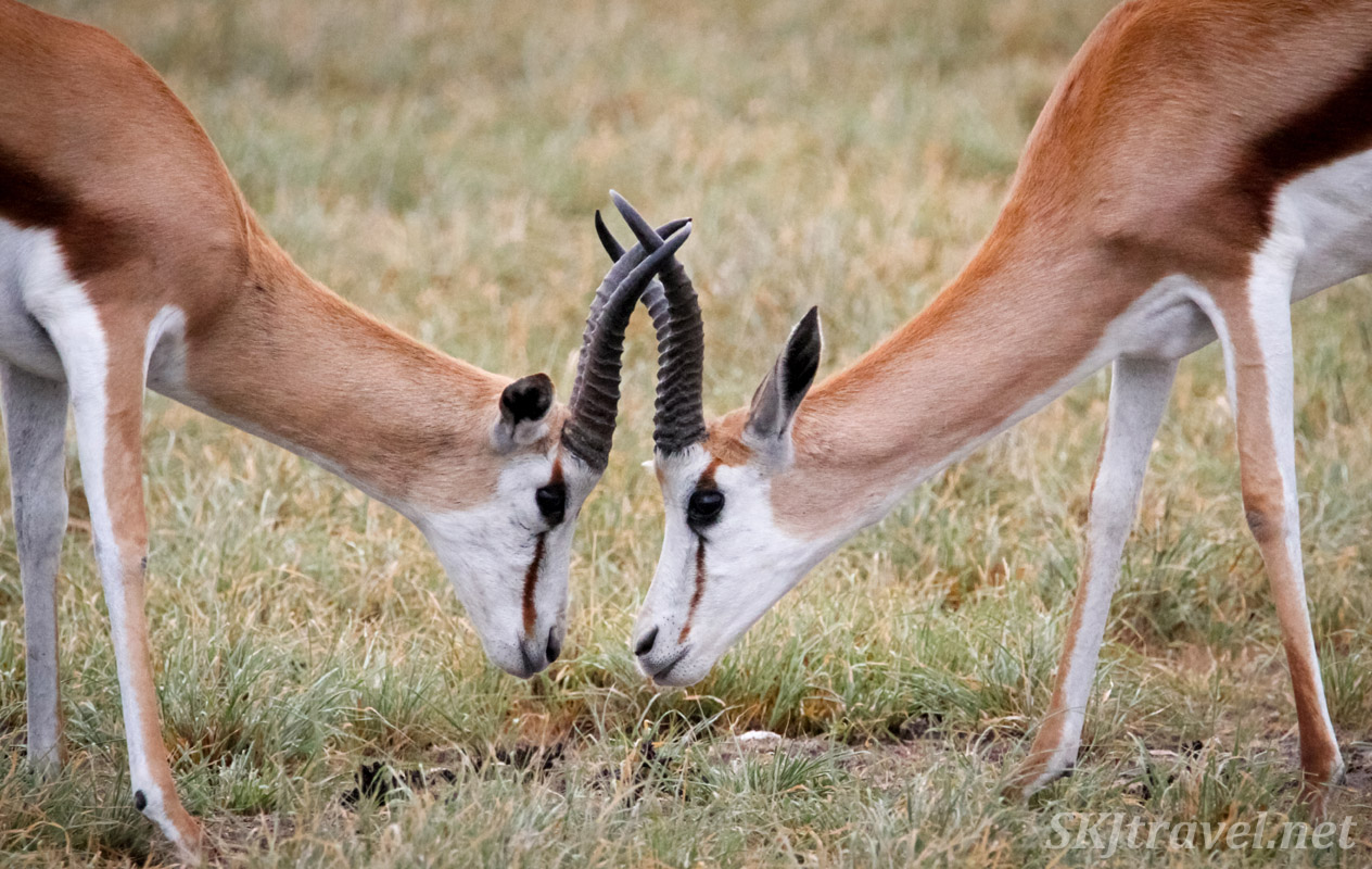 Male springbok sparring. Central Kalahari Game Reserve, Botswana.