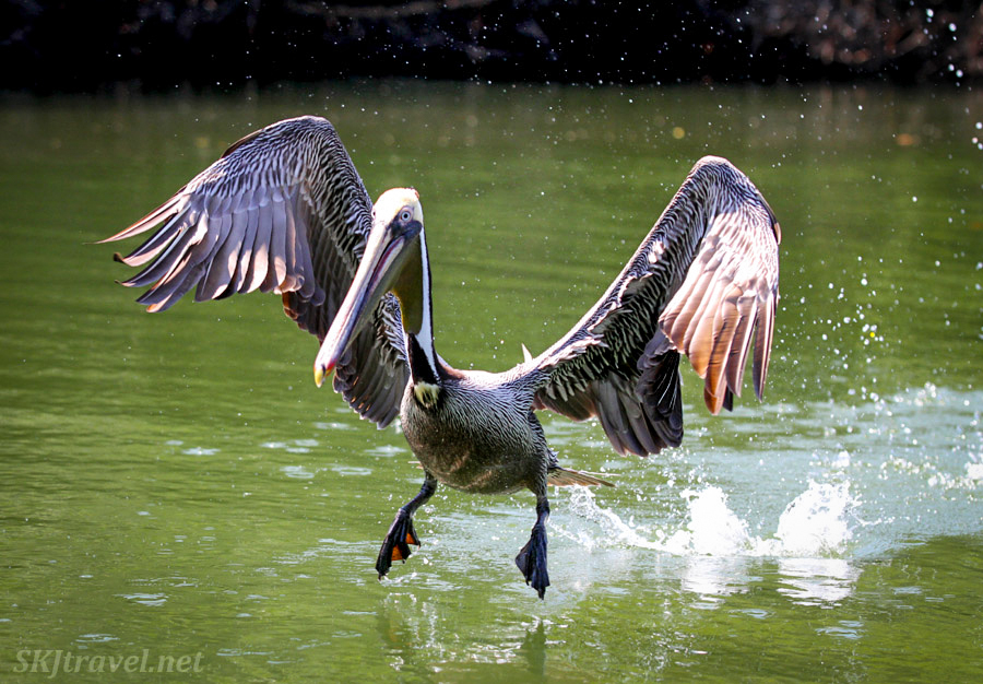 Adult brown pelican coming in for a landing at Barra de Potosi, Zihuatanejo, Mexico.