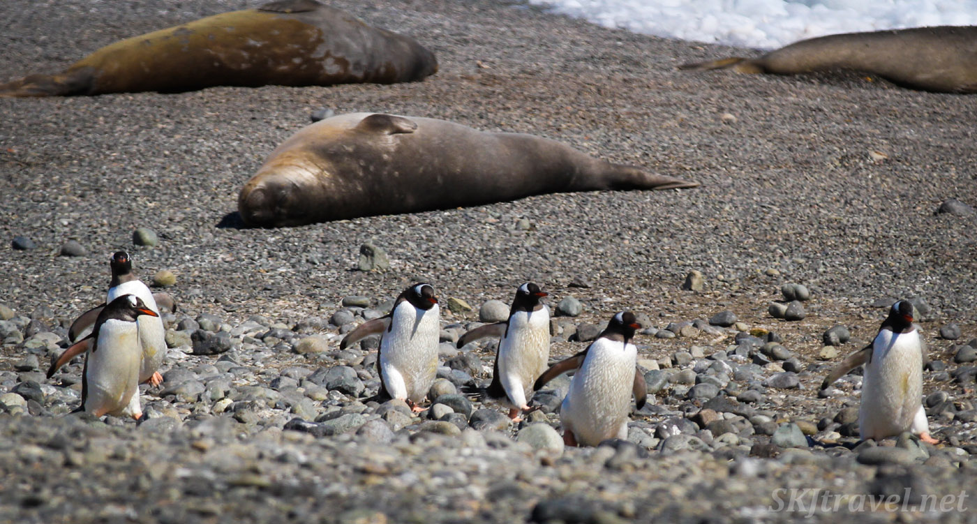Line of penguins going to work on the beach at Yankee Harbor, Antarctica, while the seals laze around.