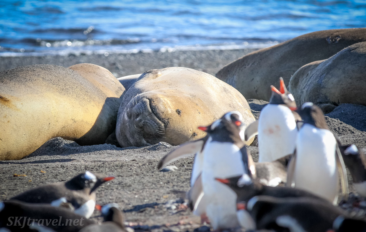 Seals and penguins sharing the beach at Barrientos Island, South Shetland Islands.