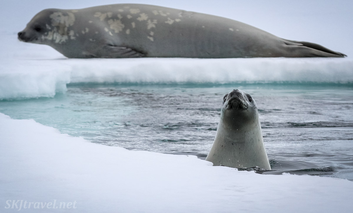 Seals surfacing at the edge of sea ice, Wilhelmina Bay, Antarctica.