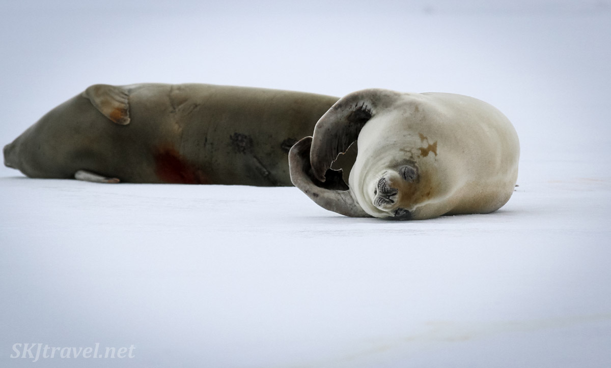Seals on the sea ice in Wilhelmina Bay, Antarctica.