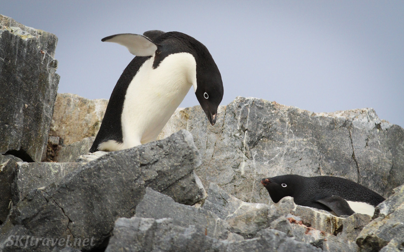 Adelie penguin delivering a new stone to its nest. Antarctica.