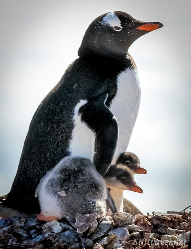 Proud looking gentoo penguin mom (or dad) caressing two older chicks under her wings. Yankee Harbour, South Shetland Islands.
