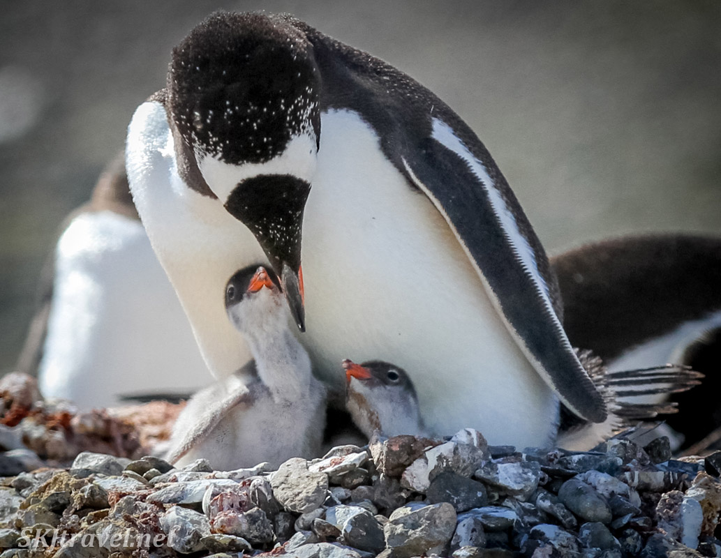 Baby gentoo penguin siblings in their nest ready for a meal from mom, Yankee Harbour, South Shetland Islands.