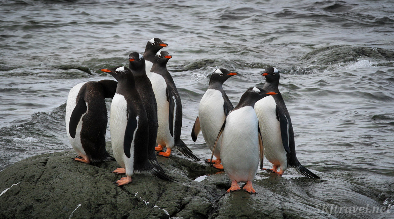 Group of gentoo penguins, Mikkelsen Harbour, Antarctica.
