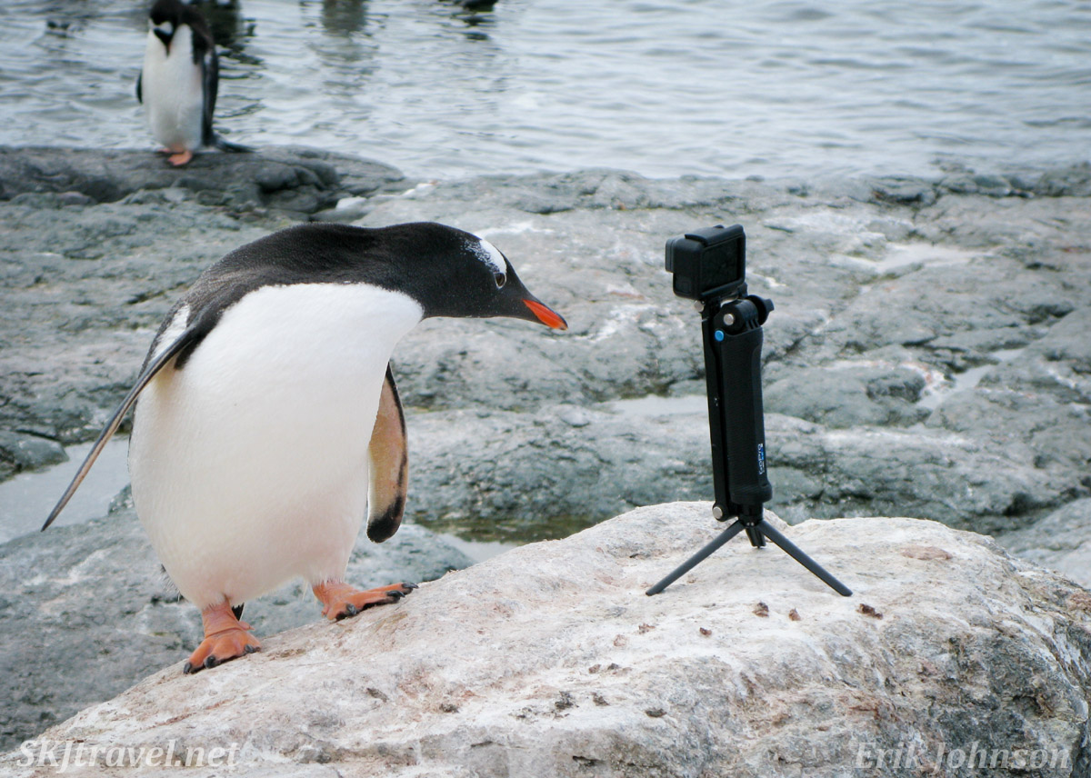 Gentoo penguin with a crush on a camera. Mikkelsen Harbour, Antarctica.