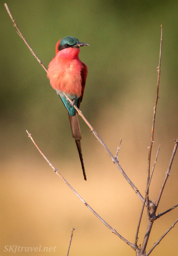 Front view of a southern carmine bee-eater perched on a tree branch, Chobe National Park, Botswana.