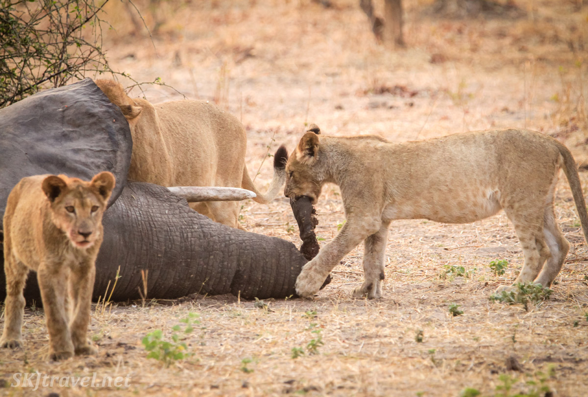Lion cubs playing with a dead elephant's trunk. Chobe National Park, Botswana.