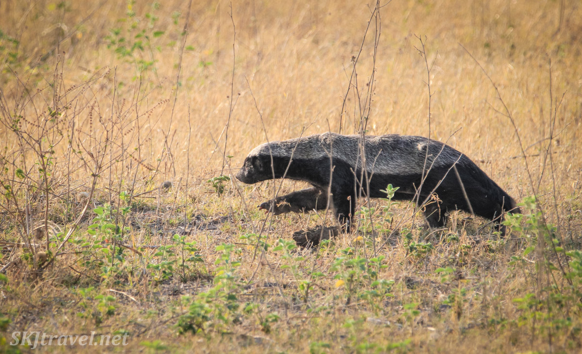 Honey badger running through the weeds in Chobe National Park, Botswana.