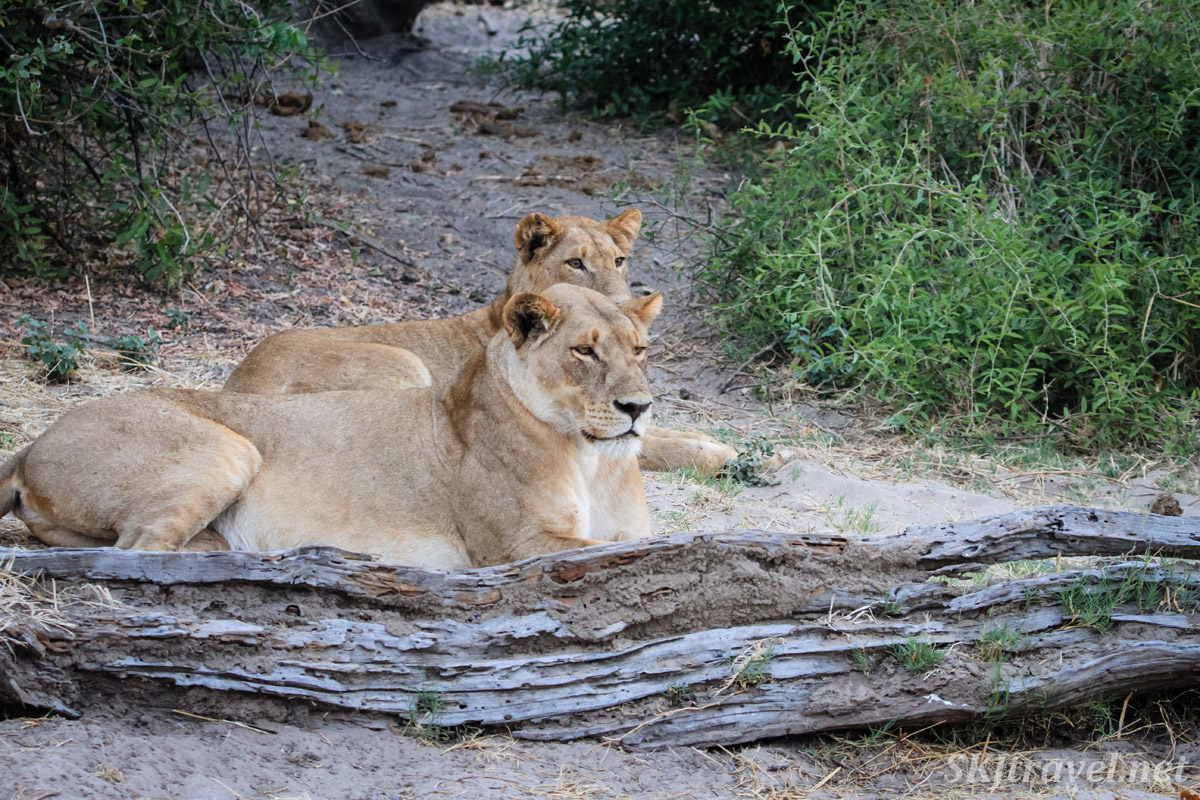 Lioness sisters at the edge of a marshy plain in Chobe National Park, Botswana.